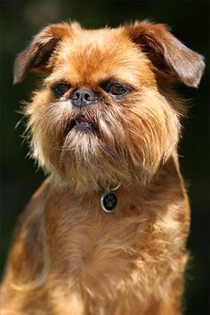 Brussels Griffon Dog Breed Information, Pictures, Characteristics & Facts – Dogtime Small Dog Breeds, Small Dogs, Pet Dogs, Dogs And Puppies, Pets, Griffon Dog, Brussels Griffon Puppies, Griffon Bruxellois, Cool Dog Houses