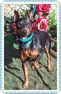Marietta, GA - Miniature Pinscher. Meet MANNY a Dog for Adoption.