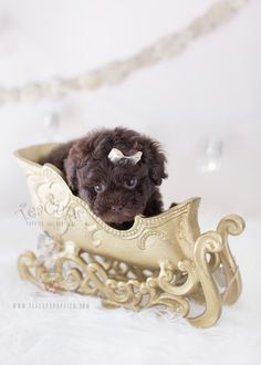 Christmas Puppy: Adorable Chocolate Poodle by TeaCups, Puppies & Boutique of South Florida  #poodle #toypoodle #puppy #puppies #teacuppuppies