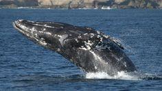 Whale Watching with Dana Wharf Sportfishing During Gray Whale Season