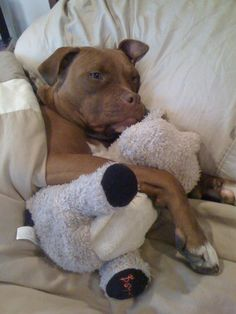 Cuddly pitbull terrier dog, so adorable and cute. Such sweet dogs.