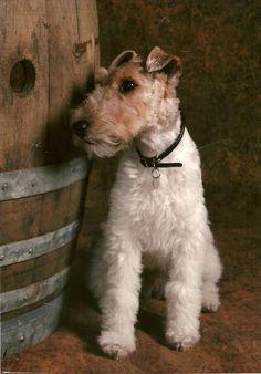 Wire - Fox Terrier Network