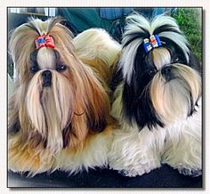 Shih Tzu-Patriotic Dog Bow Models