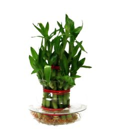 Turn your days into lucky days by placing lucky bamboo in your home and change the negative environment Lucky Bamboo, Lucky Day, Green Bag, Canning, Plants, Plant, Home Canning, Planets, Conservation