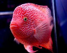 Red Texas Cichlid