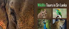 #srilanka #lka #wildlife #nature #safari #elephants #leopard #trials bookings@inspirevoyage.com http://srilanka-holidays.in/