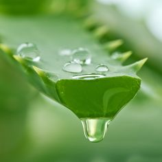 Aloe Vera - a staple ingredient in Forbidden Leaf products.