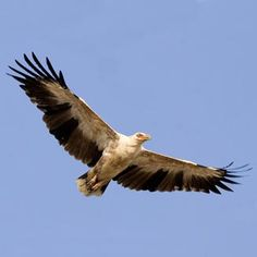 Palm-nut Vulture Gypohierax angolensis - Google Search