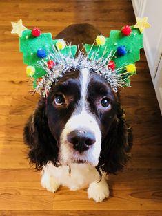 Springer Spaniel at Christmas