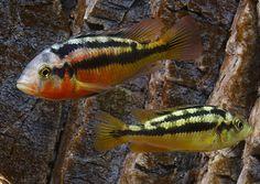 "Paralabidochromis sp. ""rock kribensis"", Mwanza Gulf"