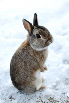 leporidae  rongeur lagomorphe lapereau (little rabbit, bunny)