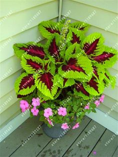 100pcs/bag begonia seeds bonsai flower seeds courtyard balcony Coleus seeds begonia plants potted for home garden