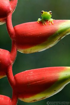 tiny frog peeking over heliconia