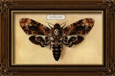 Death`s Head moth. One of my next tattoos.