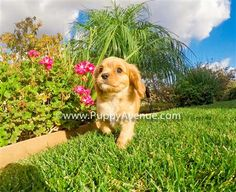 A Cavapoo is a teacup puppy, very beautiful and intelligent. If you want to adopt a Cavapoo, come to Puppy Avenue, breeder in California.