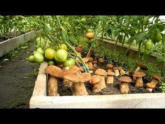 Как на участке вырастить белые грибы - YouTube Mushroom Cultivation, Gardening, Horticulture, Indoor Garden, Homesteading, Stuffed Mushrooms, Food And Drink, Landscape, Fruit