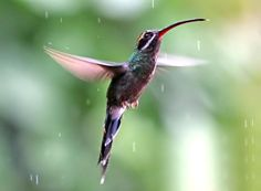 White-whiskered Hermit Phaethornis yaruqui - Google Search