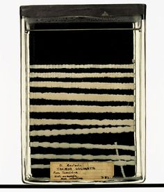 Taenia saginata (tapeworm) specimen, removed from the gut of a human male. Grant Museum of Zoology. Creepy, Scary, Thinking In Pictures, Horror House, Pandoras Box, Vintage Medical, Weird Science, Weird Things, Doctor Strange