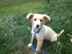 Dodger is an adoptable Shetland Sheepdog Sheltie Dog in Winston-Salem, NC. Meet Dodger!  Originally found as a stray, this little boy came to Stepping Stones by way of a shelter a few hours east of Wi...