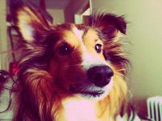 This is the closest to my first sheltie, Mickey that I can find