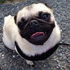 paisleypuggy:  Pretty Paisley Puggy smiling for the camera!