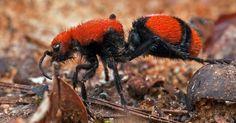 Formiga-de-veludo-vermelha (Mutillidae)