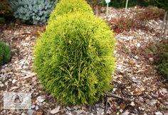 Thuja occidentalis 'Mirjam' - Żywotnik zachodni 'Mirjam' Thuja Occidentalis, Types Of Plants, Winter Garden, Landscaping, Planters, Gardens, Herbs, Outdoor Gardens, Yard Landscaping