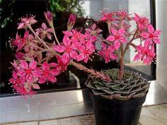 Graptopetalum bellum a. Succulent Pots, Cacti And Succulents, Planting Succulents, Cactus Plants, Bonsai, Water Wise, Agaves, Cactus Y Suculentas, Echeveria