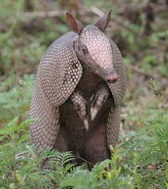 December's draw for its animal totem is the armadillo.  The quality it represents is respect for boundaries.