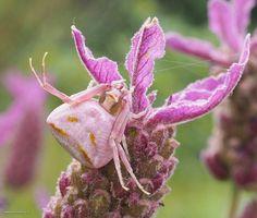 Vandaag weer gevonden, nu niet wit of geel maar zich aangepast aan de lavendel. Ik ben blij met deze foto, ze kijkt mij zo lief aan.