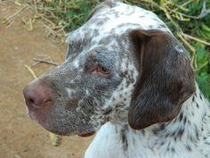 Braque Du Bourbonnais, Hunter Dog, Ticks, Pitbulls, Dogs, Animals, Google, Beauty, Grey Hair
