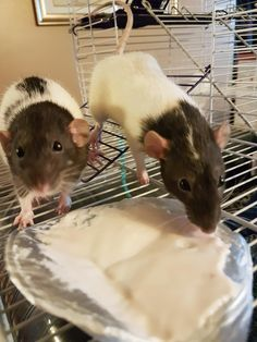 Wilma (left) and Sophie (right) discovered a love for yogurt!! :D #aww #cute #rat #cuterats #ratsofpinterest #cuddle #fluffy #animals #pets #bestfriend #ittssofluffy #boopthesnoot
