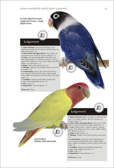 Enciclopédia dos Agapornis - Encyclopedia of the Agapornis Budgies, Parrots, Love Birds Pet, African Lovebirds, Bird Poster, Parrot Toys, Parakeet, Animals Of The World, Bird Feathers