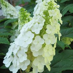 From the same breeder as  'Gatsby Star', 'Gatsby Gal' hydrangea is another newcomer with native roots. This variety however, develops huge upright trusses of single flowers held high above the handsome dark green foliage. 'Gatsby Gal' looks terrific in a foundation planting or fence line planting.