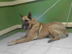 PHA ROAH - ID#A4226827 My name is Pha roah and I am described as a male, red and tan German Shepherd Dog mix The shelter thinks I am about 14 years old. I have been at the shelter since Feb 09, 2016. For more information about this animal, call: Los Angeles County Animal Control - Carson at (310) 523-9566 Ask for information about animal ID number A4226827 www.PetHarbor.com pet:LACO1.A4226827