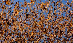 MIGRAÇÃO Borboletas-monarca