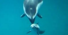After about three hours of labor, Katrl the 28-year-old Pacific white-sided dolphin gave birth to her calf at Chicago'sShedd Aquarium last week. In a video, recordedby Shedd Aquarium videographer Sam Cejtin, we see the moment thecalf's tail pops out of Mom as well as the baby's first breath. (It's just as incredible to watch as... View Article