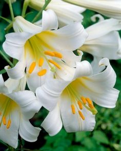 Garden with Breck's and SAVE! Shop Breck's premium Regale Album Trumpet Lily and try our gorgous garden flowers! Elegant Flowers, Exotic Flowers, Colorful Flowers, Beautiful Flowers, Lily Shop, Trumpet Lily, Perennial Bulbs, Lilies Of The Field, Lily Painting