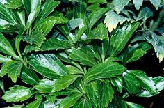 Pachysandris terminalis 'Green Carpet' - evergreen ground cover; glossy leaves and small white flowers in spring