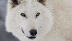 Jon Snow's Dire Wolf Is A Great Actor, Here's Why…