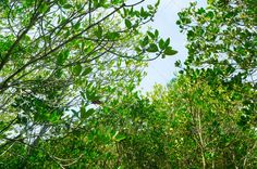 Photo of green fertile mangrove forests of Thailand. ...  adventure, board, boardwalk, branch, brown, calm, coast, country, countryside, deciduous, environment, foliage, forest, ground, high, hiking, jungle, landscape, leaves, leisure, mangrove, national, nature, park, path, peaceful, planks, plant, recreation, rural, scene, scenery, sea, season, thailand, tourism, track, trail, travel, tree, tropical, twig, view, walking, way, wetland, wood, wooden, woodland, yellow