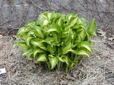 Geisha Hosta Small 6 to 8 in tall, has long stem my leaves are more deeper ble green with a softer green in the inside. Part of my red District Hosta section. Hosta Gardens, Apple Tree, Outdoor Plants, Shade Garden, Geisha, Photo Library, Shrubs, Perennials, Berries
