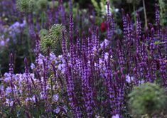 Salvia: A Field Guide. Ornamental sage, better known as Salvia, comes in more than 900 varieties, either as tender annuals or hardy, herbaceous perennials.
