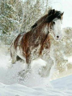 Clydesdale enjoying the snow