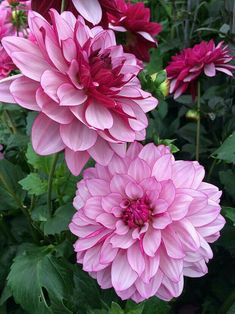 Dahlia flowers that have pale petals with deep pink reverses Amazing Flowers, Pink Flowers, Beautiful Flowers, Dahlia Flower Pictures, Flower Show, Flower Art, Purple Dahlia, Growing Dahlias, Pink Plant