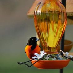 Feeding Orioles - Iron Oak Farm Blog - The Baltimore Oriole is one of my favorite songbirds. The brilliant orange color is like a flash of sunlight in the sky. Not only are orioles beautiful to look at, they have a lovely twirling song. Attracting orioles to your yard is fun and easy. We draw orioles in five different ways.