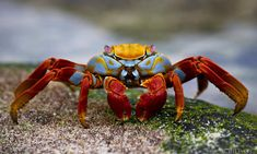 crabs are ugly but the colors on this one are pretty sweet