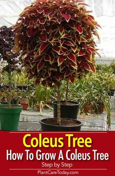 Easy To Grow Houseplants Clean the Air Coleus Growing Tips, Coleus, Uma Folhagem Muito Colorida Container Gardening, Gardening Tips, Organic Gardening, Gardening Supplies, Indoor Gardening, Easy To Grow Houseplants, Types Of Herbs, Hydroponic Plants, Banana Plants