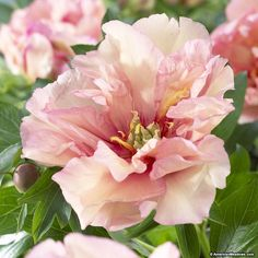 Canary Brilliants Itoh Peony has creamy yellow double blooms with delicate rose centers. Lightly fragrant, this Itoh peony can have 30- 50 blooms per season once established. Perfect in sun or part shade our exclusive cultivar will wow everyone who sees it! (Paeonia Itoh)