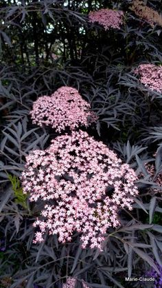Shade Flowers Perennial, Part Shade Flowers, Shade Annuals, Flowers Perennials, Planting Flowers, Elderflower Ideas, Shade Garden, Garden Plants, Sambucus Nigra Black Lace